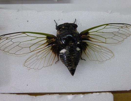 cicada21.jpg